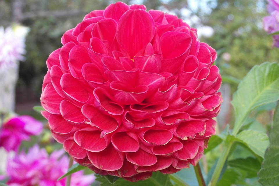 Dalia, Flower, Red, Garden, Petals, Flora