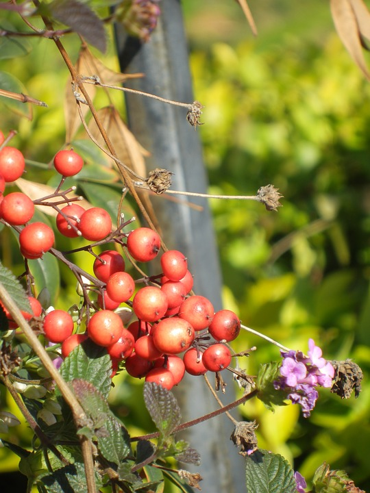 Berries, Red, Pink