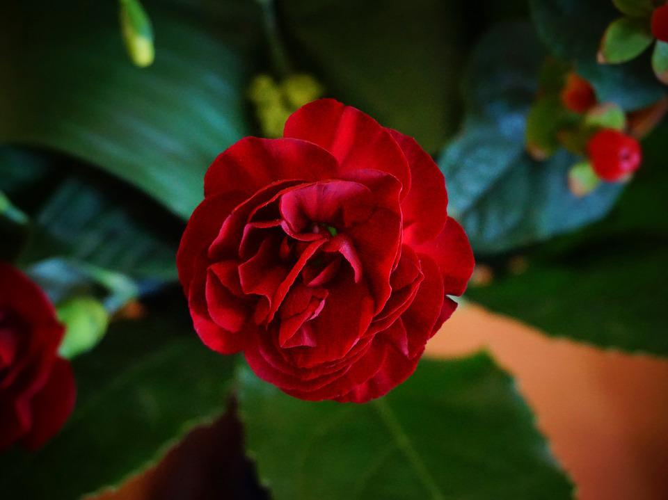 Pink, Red, Flower, Plant, Red Flower, Red Pink