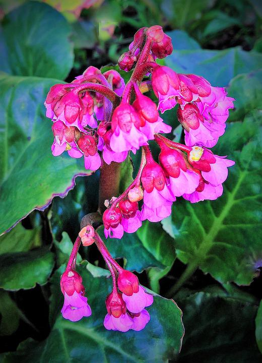 Free photo red pink flowers shrub plant in bell shape max pixel plant shrub red pink flowers in bell shape mightylinksfo