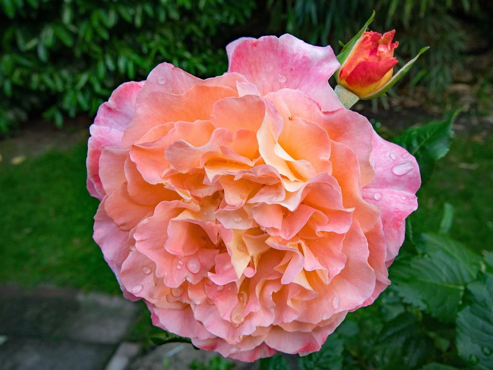 Free photo red pink rose augusta luise yellow flowers orange max pixel rose augusta luise flowers pink yellow orange red mightylinksfo