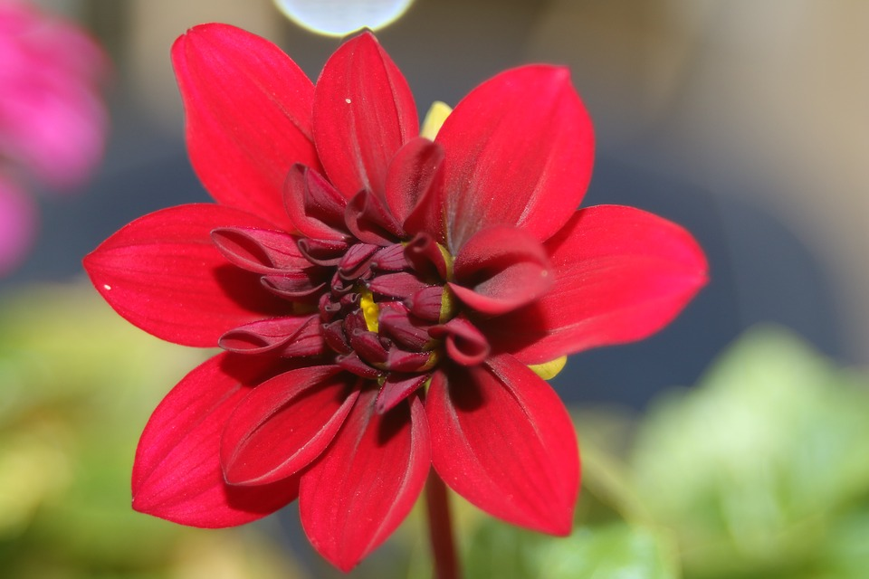 Dahlia, Red, Blossom, Bloom, Plant, Dahlia Flower