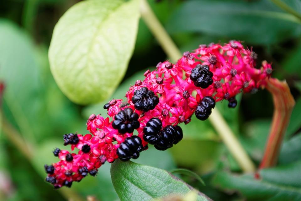 Plant, Garden, Red