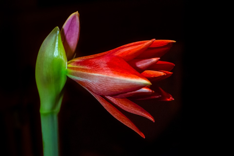 Amaryllis, Flower, Blossom, Bloom, Plant, Nature, Red