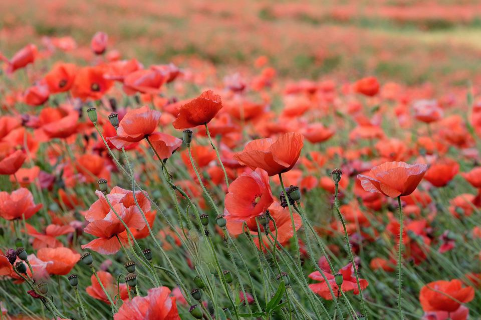 Poppies, Flowers, Buds, Field Of Poppies, Red Poppies