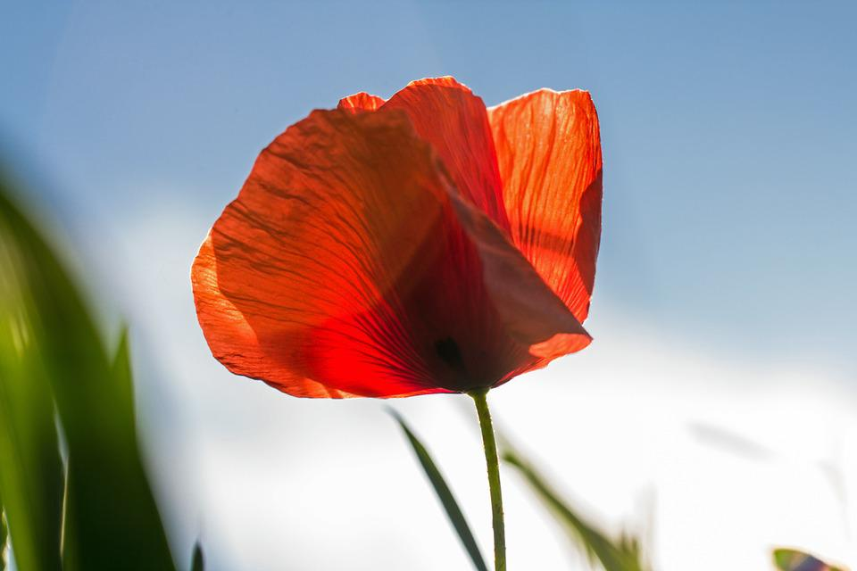 Poppy, Red, Blossom, Bloom, Red Poppy, Bloom, Color