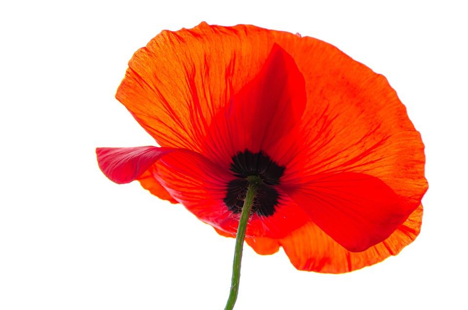 Klatschmohn, Poppy, Blossom, Bloom, Red, Meadow