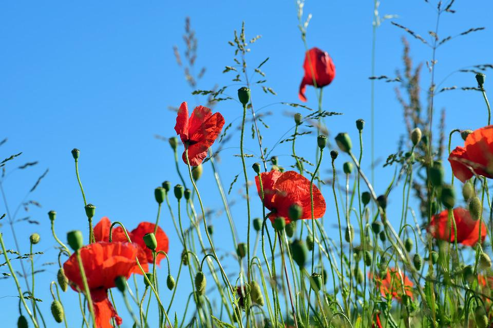 Free photo red poppy field of poppies klatschmohn poppy flower max poppy klatschmohn poppy flower red field of poppies mightylinksfo