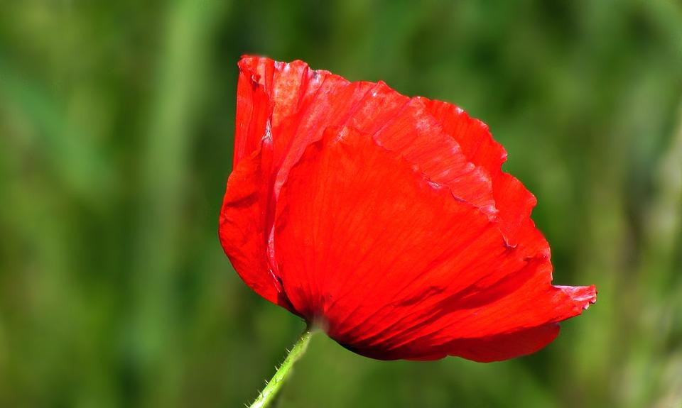 Free photo red poppy flowers meadow poppies field max pixel field poppy poppies flowers red meadow mightylinksfo
