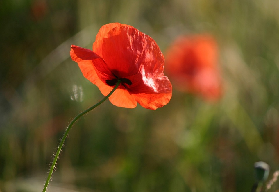 Poppy, Flower, Nature, Red Poppy