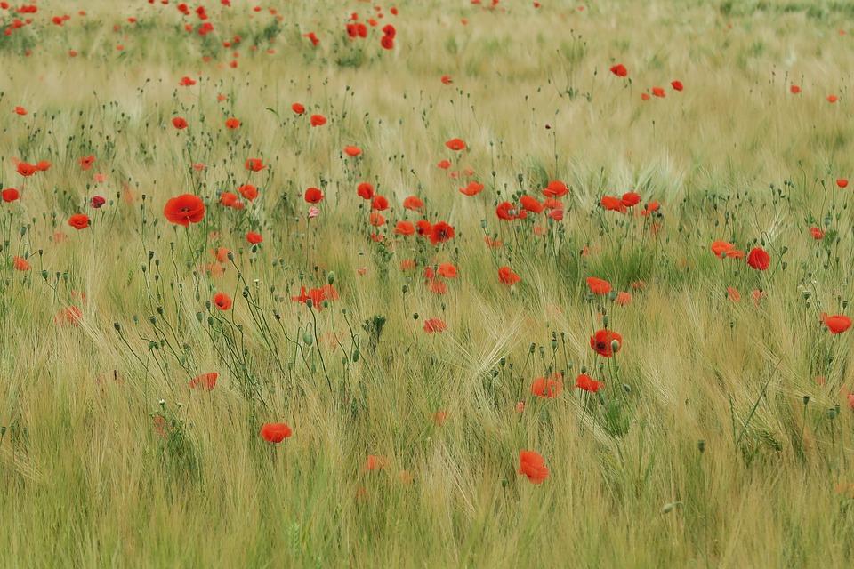 Poppy, Field Of Poppies, Red, Field, Poppy Flower