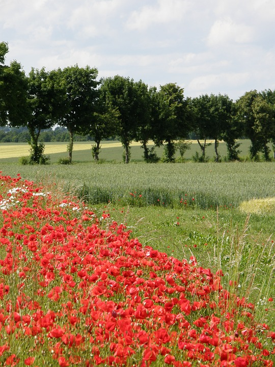 Poppies, Red, Landscape, Red Poppy
