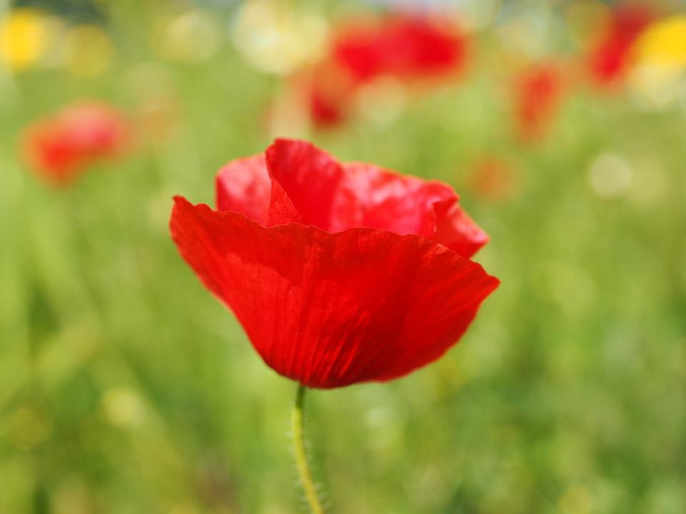 Klatschmohn, Poppy Flower, Poppy, Red Poppy, Red