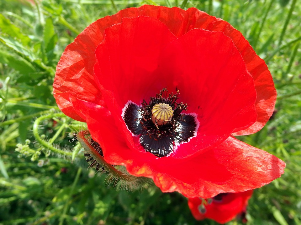 Red Weed, Flower, Red, Poppy