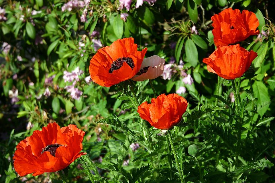 Poppy, Garden, Klatschmohn, Summer, Farbenpracht, Red