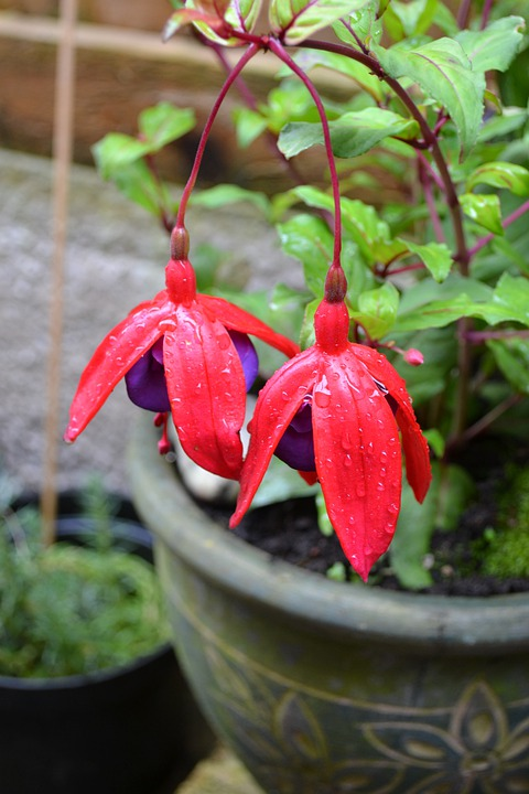Fuchsia, Potted Plant, Woody, Hardy, Red, Purple