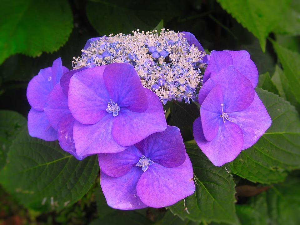 Hydrangea, Ota Kisan, Flowers, Blue, Purple, Red Purple
