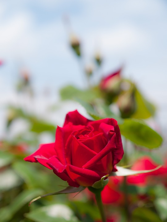 Flowers, Rose, Sunshine, Red Flowers, Red, Plant