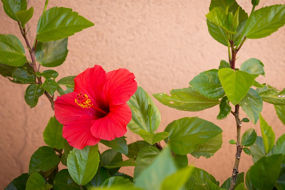 Free Photo Red Red Hibiscus Leaves Bright Plant Hibiscus Max Pixel