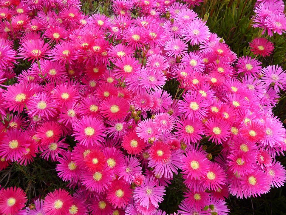 Matsubagiku, Flowers, Red, Pink, Red Purple, Skinny