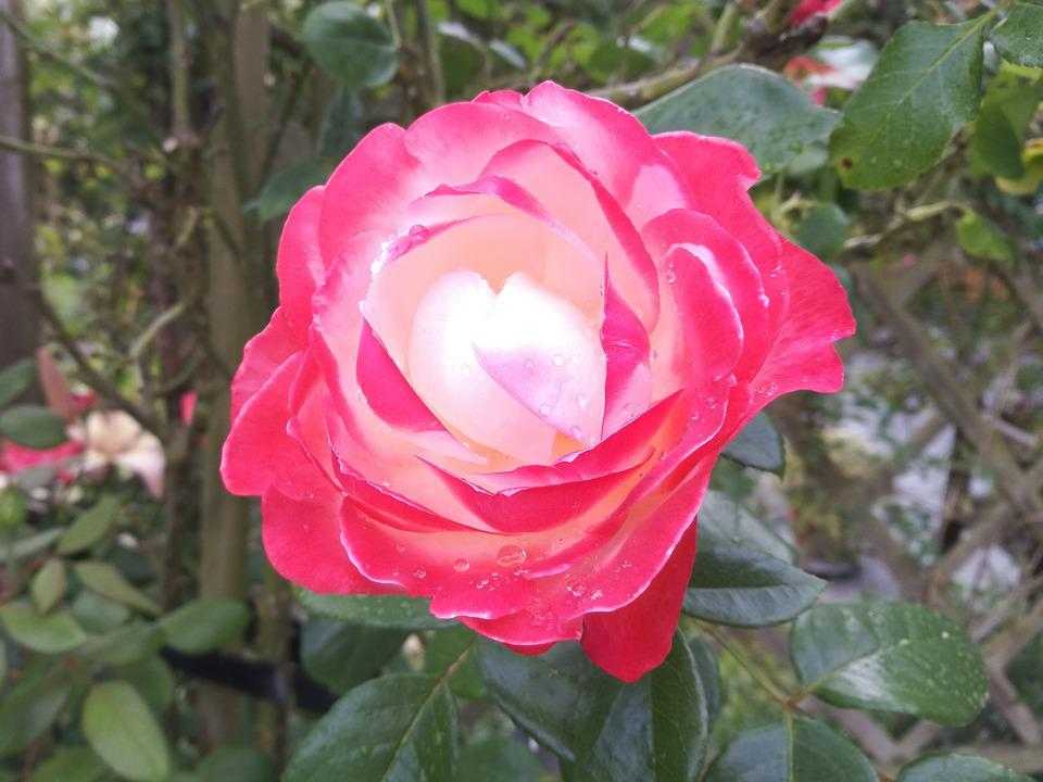 Rose, Blossom, Bloom, Red, Red Rose, Raindrop