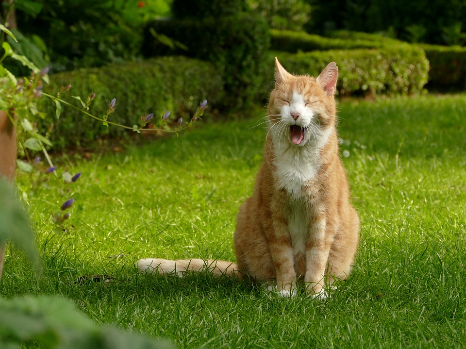 Cat, Red, Mieze, Red Tomcat, Domestic Cat, Yawns