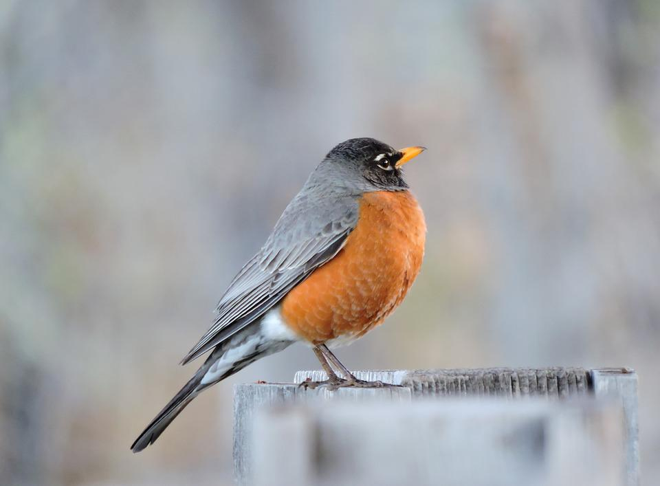 Robin, Red-breasted, Red, Bird, Wildlife, American