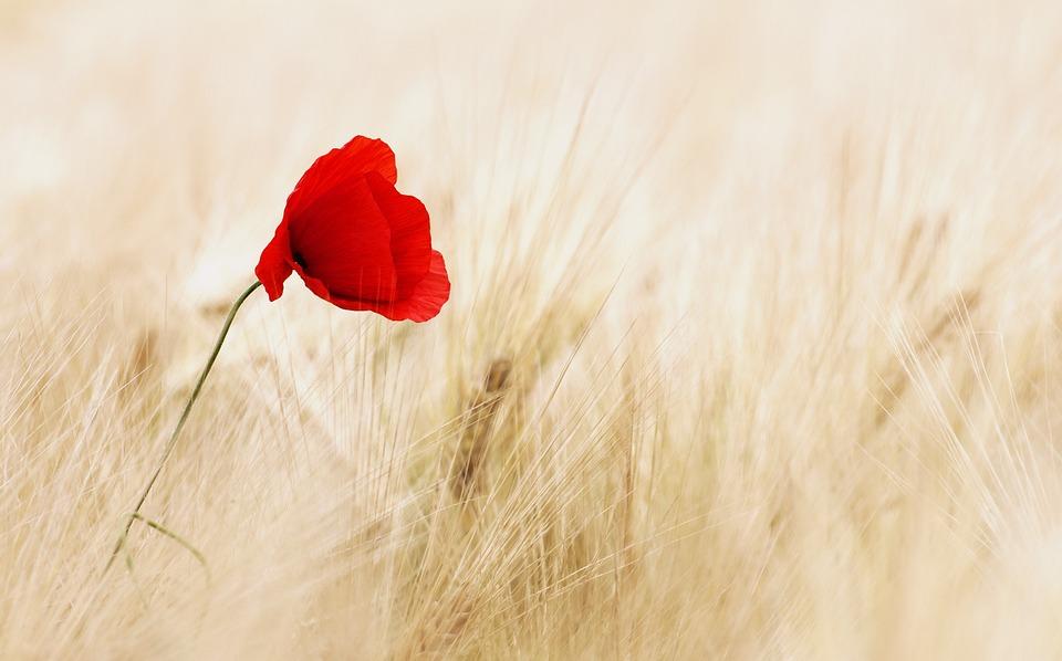 Cereals, Field, Ripe, Poppy, Poppy Flower, Summer, Red