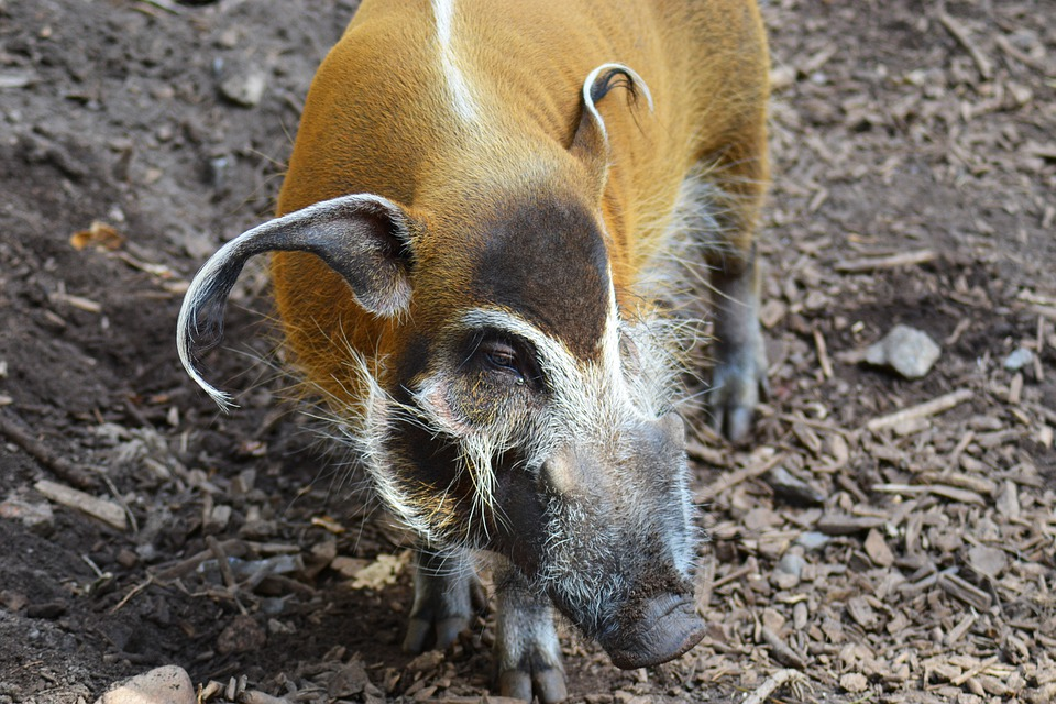 Red River Hog, Potamochoerus Porcus, Bush Pig, Wild Pig