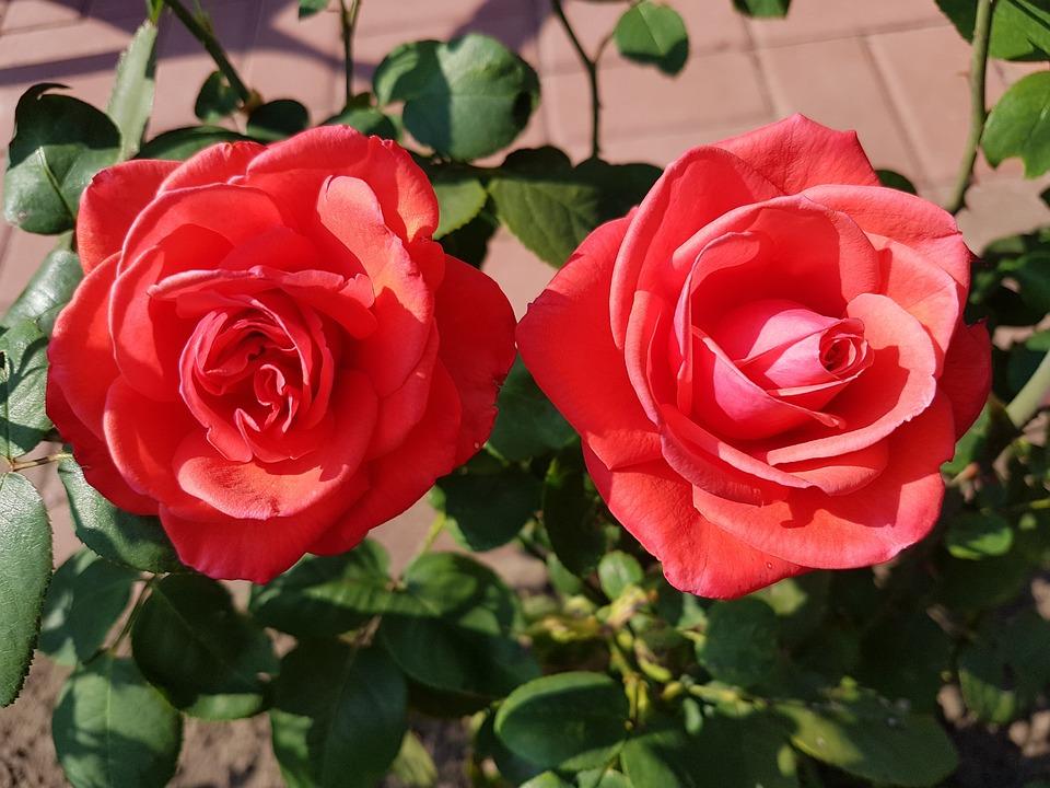 Roses, Pair, Red, Romance, Love, Human, Wedding, Luck