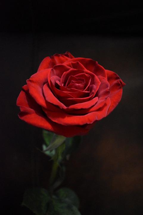 Rose, Red, Petals, Black Rose