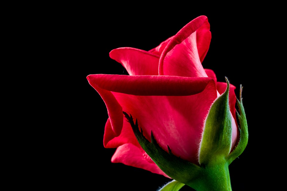 Rose, Red Rose, Flower, Blossom, Bloom