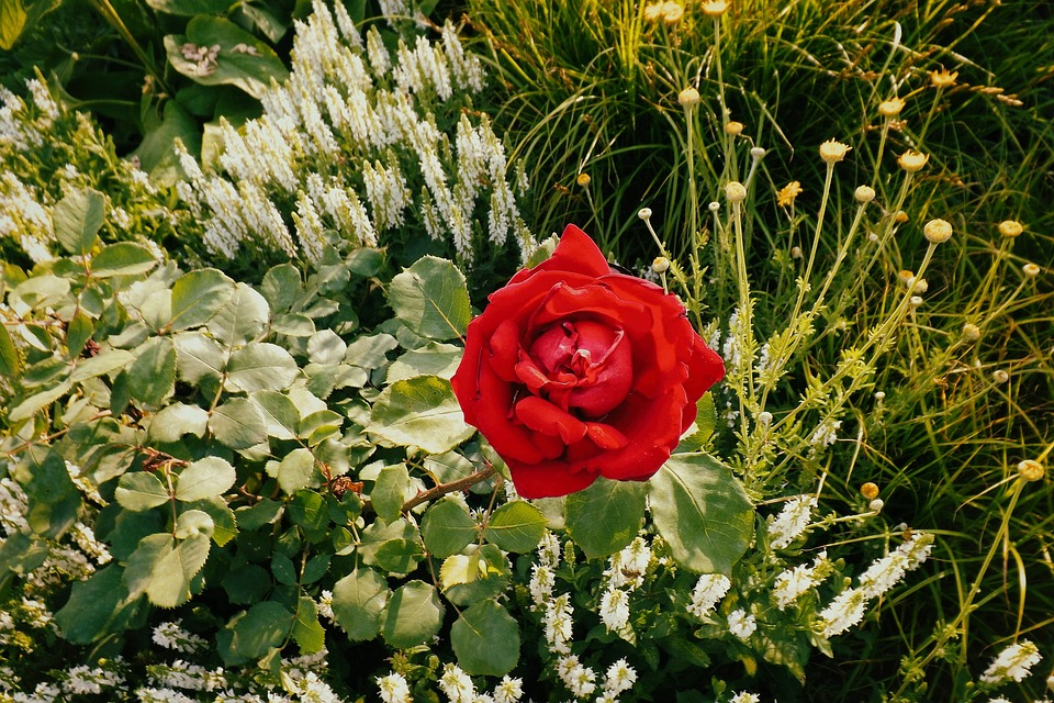 Rose, Red, Flower Bed, Garden, Blossom, Bloom, Red Rose