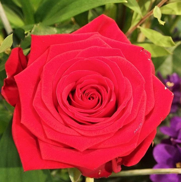 Rose, Flower, Flowers, Red Rose, Romantic, Blossom