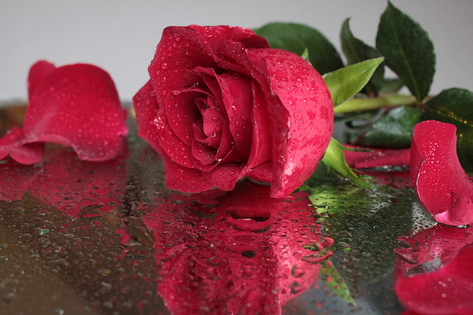Rose Flower Red Beautiful Drops Petals