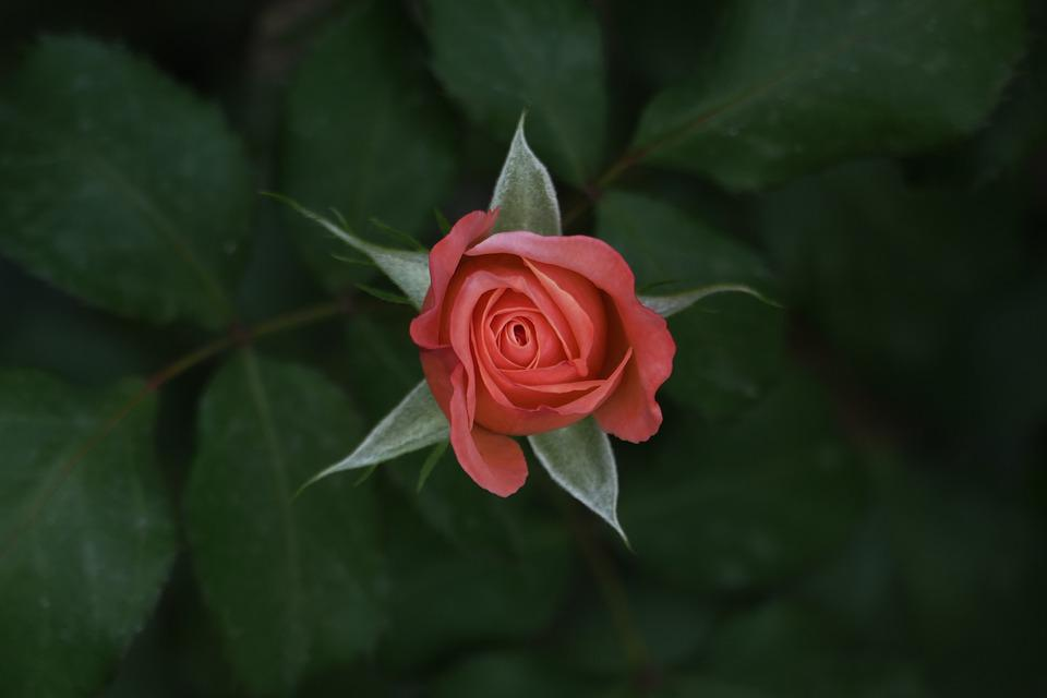 Rose, Garden, Flower, Love, Decoration, Red, Green