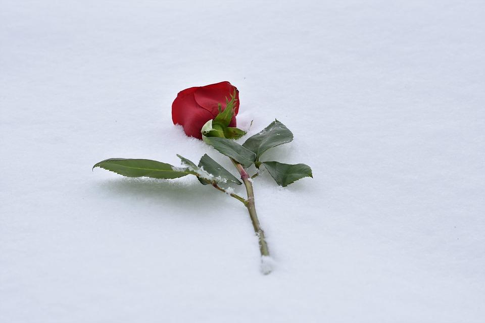 Free Photo Red Rose In Snow True Love Never Dies Love Symbol Max Pixel