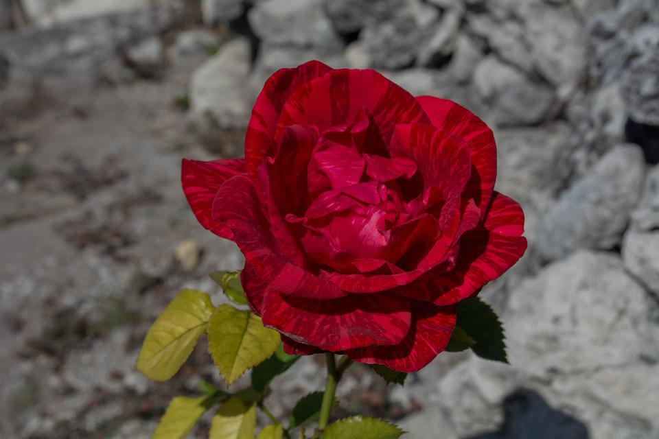 Rosa, Flower, Nature, Garden, Red Rose, Pink Open, Red