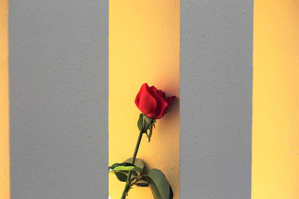Red Rose On Fence Window, Romantic, Traditional, Fresh