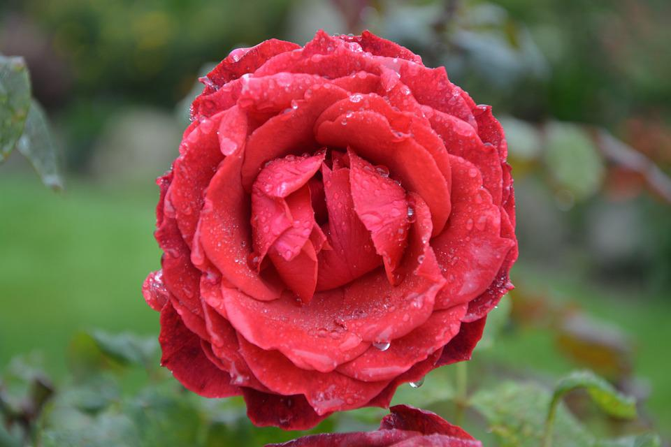 Red Rose, Pink, Red, Red Roses, Love, Pink Flower