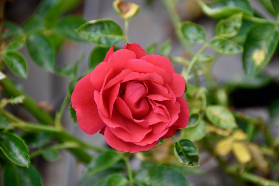 Flower, Pink, Red Rose, Thorns, Petals, Plant, Offer