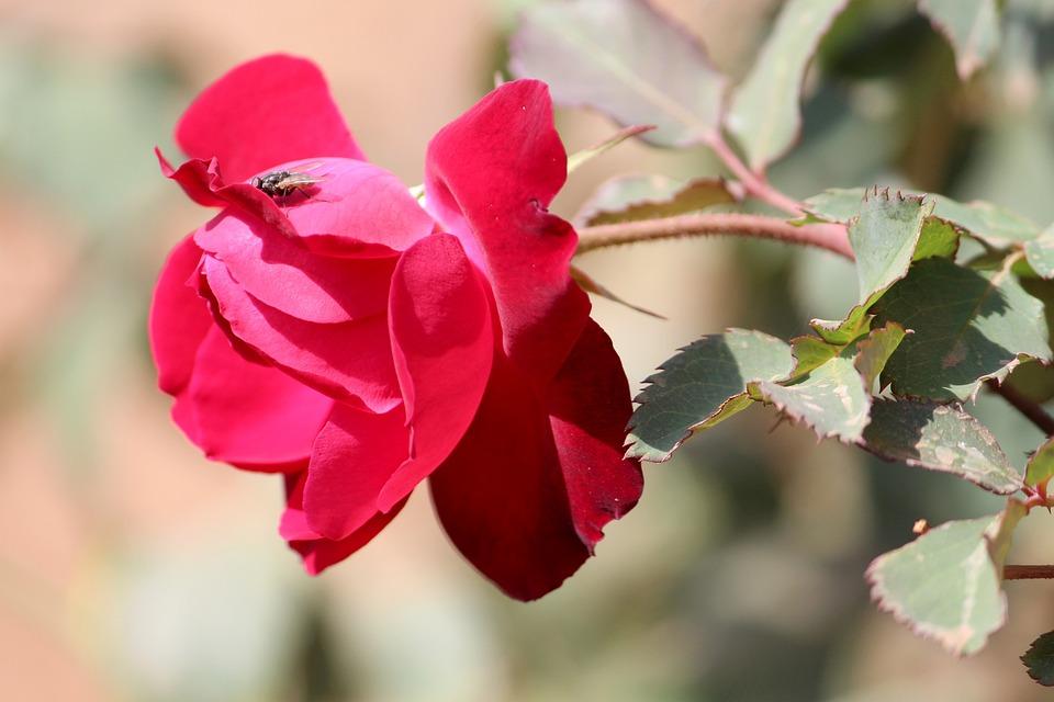 Nature, Flower, Flora, Leaf, Rose, Red Rose, Red