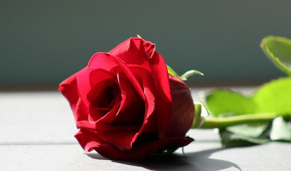 Rose, Red Rose, Flower, Red, Love, Romance