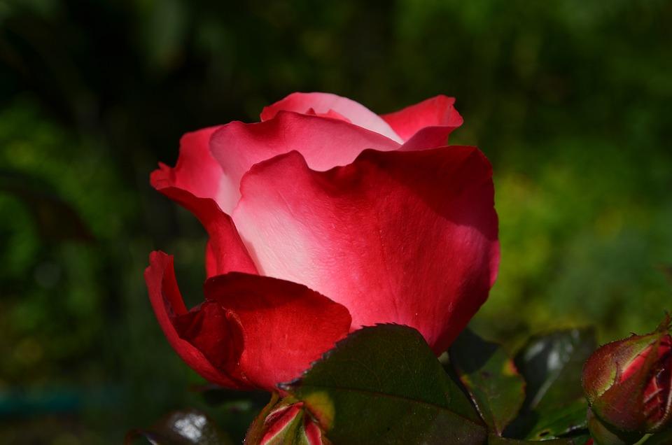 Rose, Red, Flower, Blossom, Bloom, Rose Bloom, Plant