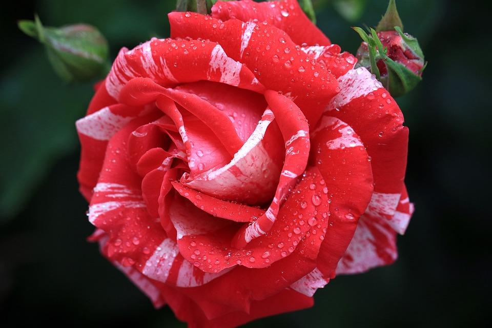 Rose, Red, Rose Flower, Rose Petals, Garden