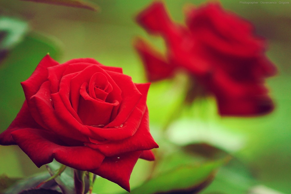Red Green Roses Flowers