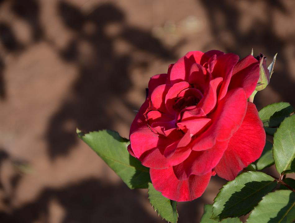Flower, Rosa, Flowers, Plant, Red Roses, Red, Rose Bush