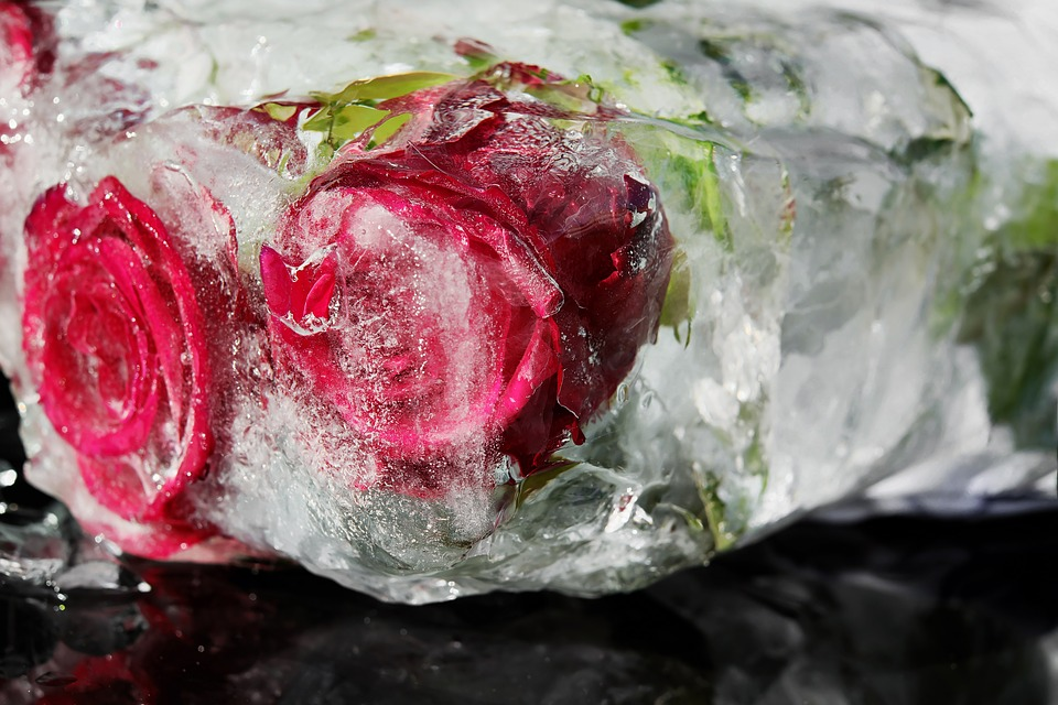 Red Roses, Flower, Rose Bloom, Petals, Frozen, Red Rose