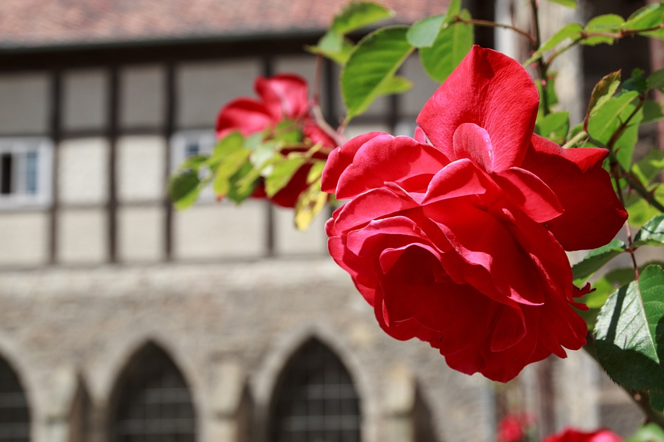 Rose, Wall, Flowers, Red Roses