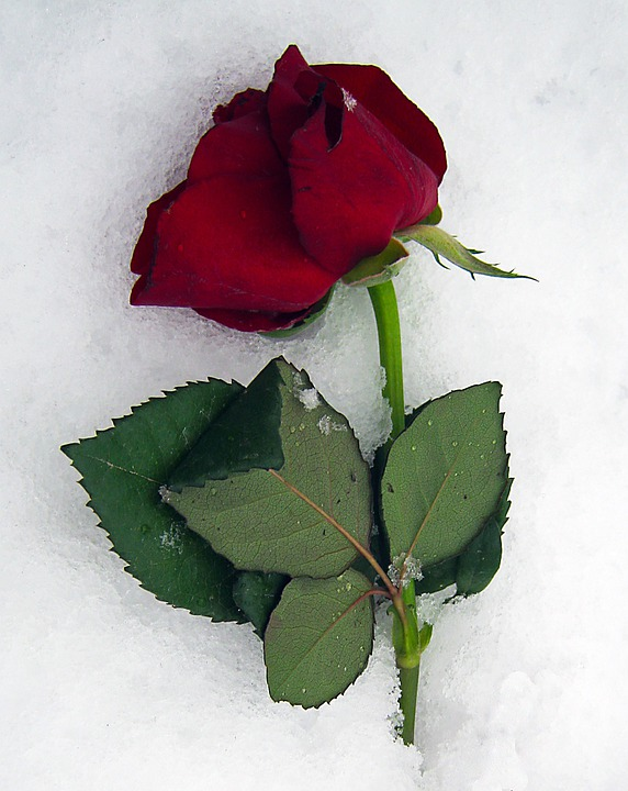 Anemone Blanda, Roses, Red, Snow, Ice, Winter